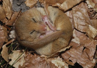 Mouse sleep
